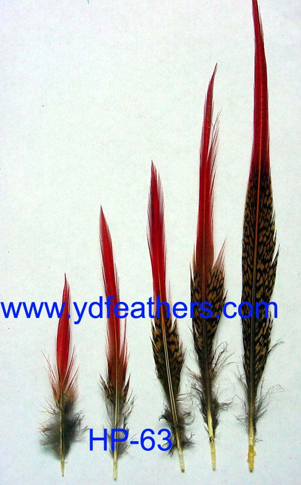 golden pheasant red tips